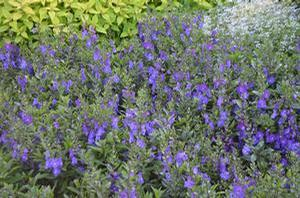 Angelonia angustifolia 'Blue'
