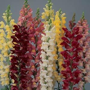 Antirrhinum 'Mix'