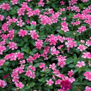 Catharanthus roseus 'Shell Pink'