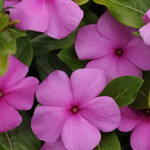 Catharanthus roseus 'Lilac'