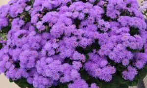 Ageratum houstonianum 'Bumble Blue'