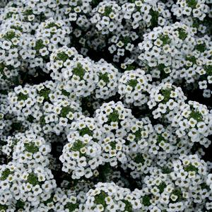 Lobularia 'Snow Princess®'