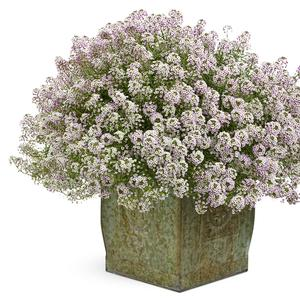 Lobularia maritima 'Blushing Princess'