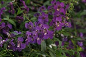 Angelonia angustifolia 'Dark Purple'