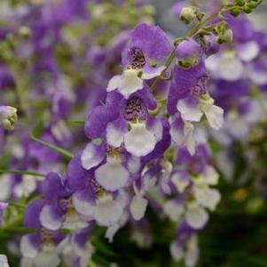 Angelonia angustifolia 'Bluebird'