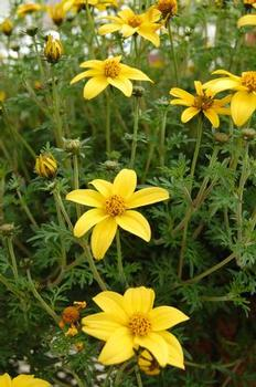 Bidens ferulifolia 'Mexican Gold'