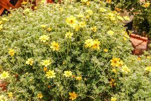 Bidens ferulifolia 'Goldilocks Rocks'